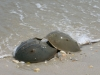 horseshoe-crabs
